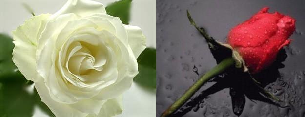 Rosen zum Gedenken